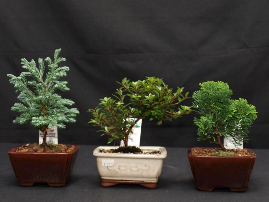 Cypress / Azalea / Cypress